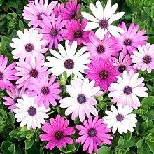 15 Transvaal Daisy SEEDS Osteospermum Garten-Blumen-Anlage 90% germinationA162