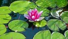 15 winterharte Uferpflanzen + 1 Seerose Farbwahl