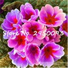 . 150 PC/Beutel Imported Evening Primrose Bonsai