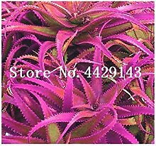 150 Stück Aloe Vera Bonsai Sukkulenten Glück