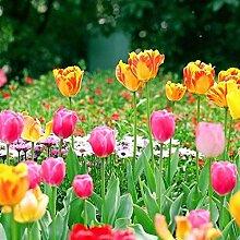 150 Stück Tulip Seeds Gartenbalkon Outdoor Bonsai