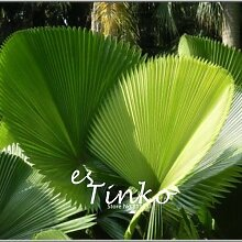 15pcs Fan-förmige Palm Samen Staude Exotische Pflanze Bonsai Laub Tropical Garden Dekorative Immergrüne Pflanze