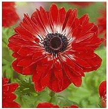 15x Frisch Anemone The Governor Garten Pflanze