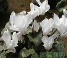 16 Farben Cyclamen Blumensamen Staude Blütenpflanzen - 100 PC-Garten-Dekoration Bonsai Blumensamen