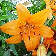 16: Neue 50 Teile/beutel Lilie Blumensamen Parfüm