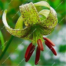 17: Neue 50 Teile/beutel Lilie Blumensamen Parfüm