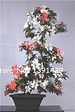 19: 100 Teile/beutel 22 arten Azalee Blumensamen
