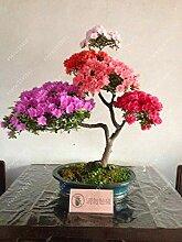 19: 20 Teile/beutel 22 Arten Azalee Blumensamen