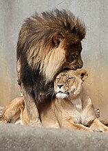 1art1 99623 Raubkatzen - Löwen, Schmusekatzen, 2-Teilig Fototapete Poster-Tapete 250 x 180 cm