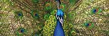 1art1 Pfauen - EIN Fächer Voller Farben, 1-Teilig