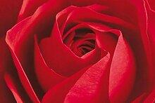 1art1 Set: Rosen, Nur Die Rose Zählt Fototapete
