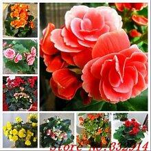 1bag = 100pcs CHINESE rosa Samen seltene exotische doppelte Seiten Blumensamen Pflanze vergossen Bonsai Dekoration Haus und Garten