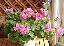 1Bag = 100pcs heißer Verkauf Geranie Samen Bonsai Dekoration für seltene Pelargonium Hortorum Blumensamen exotischen Pflanzer Haus & Garten