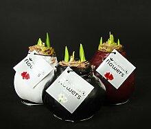 1x Amaryllis XXL gewachst (ROT), Zimmerpflanzen ,Zwiebeln, besonders ausgefallene Geschenkidee, Amaryllis Hippeastrum, Dekoration für Wohnung und Büro, blühende Pflanze