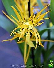 1x Brassada Mivada Orange Delight Hybride Frisch Zimmer Orchidee Pflanze Neu L40