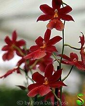 1x Burrageara Nelly Isler Hybriden Orchidee Zimmer Pflanze Neuheit Orchideen L17