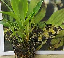1x Drakula Radiella Pflanze Orchidee Neu Zimmer Blume Affen Gesicht Pflanze R68