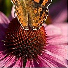 1x Echinacea Purpurea Pflanze Frisch Garten Topf