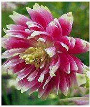 1x Frisch Akelei Barlow Pink Akelei Pflanzen