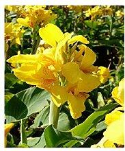 1x Frisch Canna Gelb Canna Pflanzen Garten Pflanze
