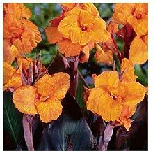 1x Frisch Canna Wyoming Orange Canna Pflanzen