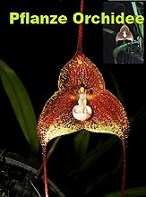 1x Frische Dracula astuta Gesicht Orchidee 25-30cm Pflanze Original Zimmer Orchideen Affen Gesicht Orchidee Pflanze Original Neuheit L1