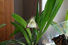 1x Frische Dracula cordobae Gesicht Orchidee 25-30cm Pflanze Original Zimmer Orchideen Affen Gesicht Orchidee Pflanze Original Neuheit L6