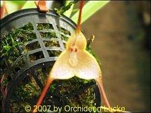 1x Frische Dracula Houtteana Gesicht Orchidee 25-30 cm Pflanze Original Zimmer Orchideen Affen Gesicht Orchidee Pflanze Original Neuheit L9