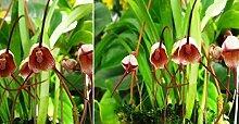 1x Frische Dracula hubenii Gesicht Orchidee 25-30 cm Pflanze Original Zimmer Orchideen Affen Gesicht Orchidee Pflanze Original Neuheit L10
