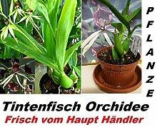 1x Tintenfisch Orchidee Pflanze Hingucker RAR Zimmerpflanze Orchideen Frisch 1A