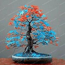 2: 20 Stücke Seltene Blau Ahorn Samen Bonsai Baum