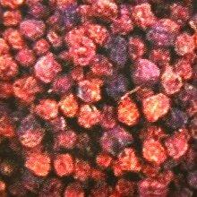 2,5 kg Ebereschenfrüchte lose, Eberesche,