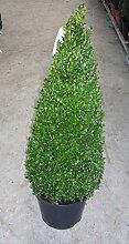 2 Buchsbaum Kegel, Höhe: 110-120 cm, Pyramide,