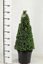2 Buchsbaum Kegel, Höhe: 90cm, Pyramide, Buxus
