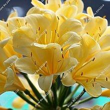 2: Clivia Seeds Blumentöpfe Pflanzgefäße Garten