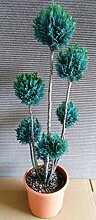 2 Gartenbonsai, Höhe: 100-110 cm, Bonsai,