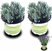 2 Lavendelpflanzen (Lavandula angustifolia)