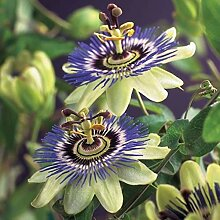 2 Passiflora caerulea | Passionsblume |
