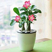 2 Pieces Desert Rose Bonsai Garden Seeds Potted