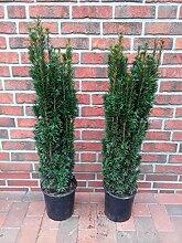 2 Säulen Eibe, Höhe: 110-120 cm, Taxus baccata