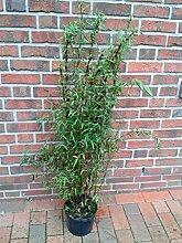 2 Stück Bambus, 110-120 cm, Fargesia Jiuzhaigou