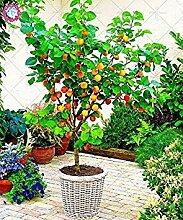 2 Stück Bonsai Aprikosenbaum Pflanze Bio-Obst