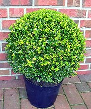 2 Stück Buchsbaum Kugel, Buxus sempervirens,