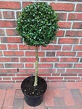 2 Stück Buchsbaum - Stamm, Höhe: 110-120 cm,