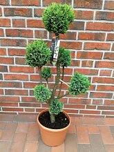 2 Stück Gartenbonsai, Höhe: 100-110 cm, Bonsai,