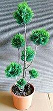 2 Stück Gartenbonsai, Höhe: 100-110 cm,