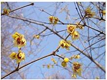 2 x Winter Blühende Garten Strauch Jungpflanzen