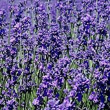 20/50 / 100Pcs Lavendel Aromatische Pflanze