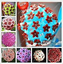 20 PC/Beutel hoya Samen, hoya Pflanze, Ball
