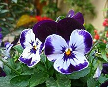 20 PC-Weiß Hydrangea Samen, Hochzeit Blumensamen,